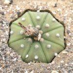 Astrophytum asterias nudum (mia semina)