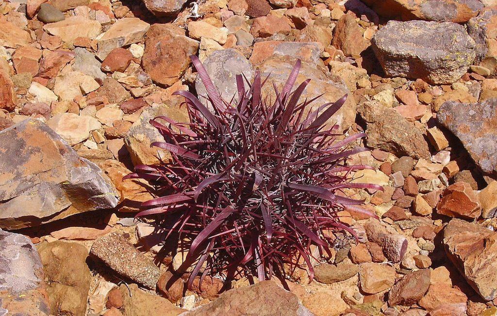 Ferocactus (Baja California)