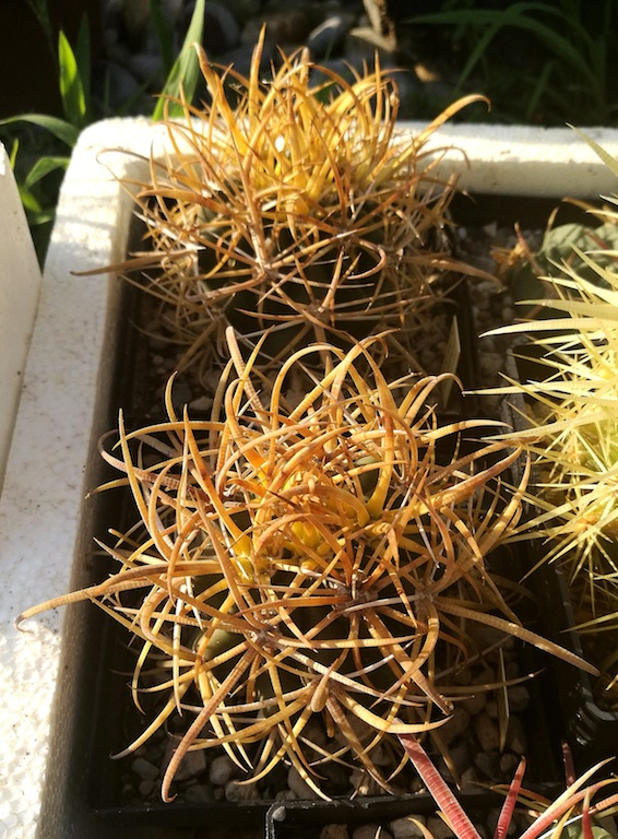 Ferocactus chrysacanthus (mie semine)