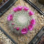 Mammillaria hahniana (mia semina)