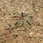 Stenocactus coptogonus (mia semina in inverno)