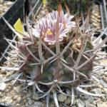 Stenocactus coptogonus (spina lunga)
