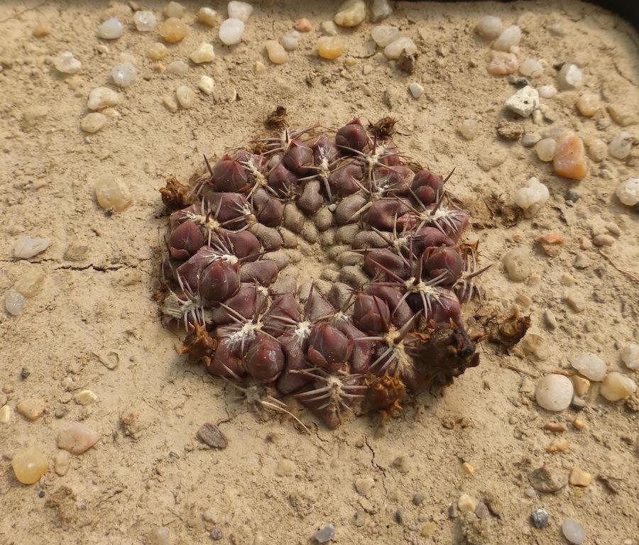 Sulcorebutia purpurea
