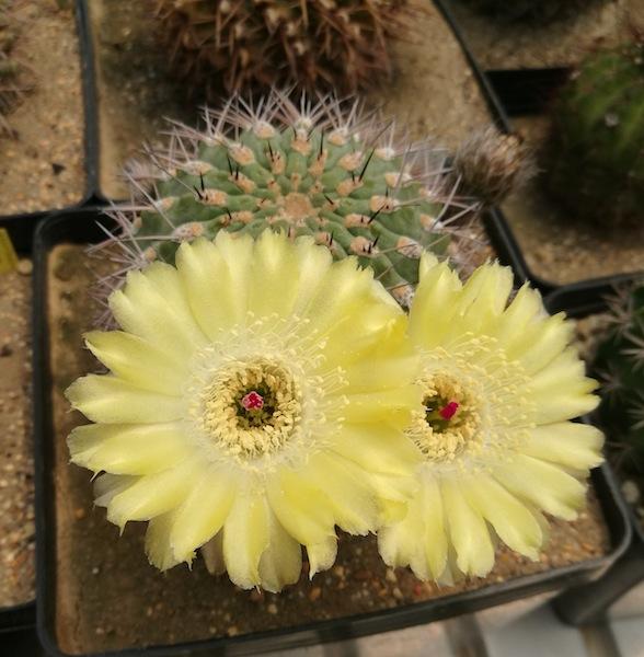 Acanthocalycium glaucum in fiore