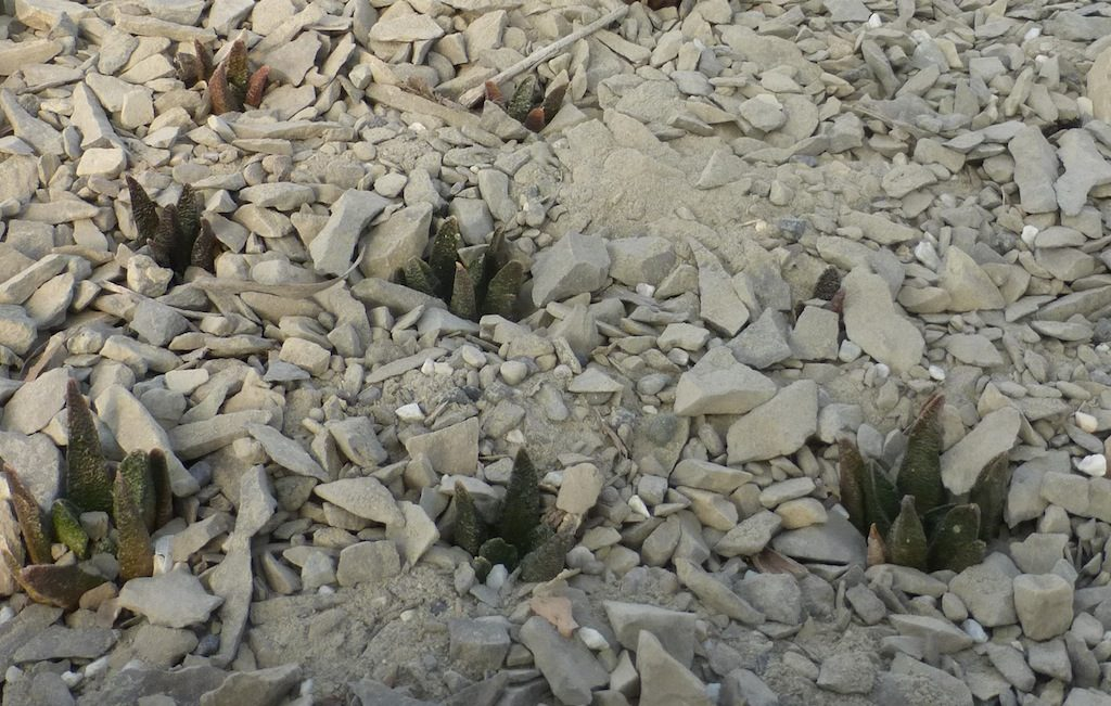 Ariocarpus scapharostrus (mie semine)