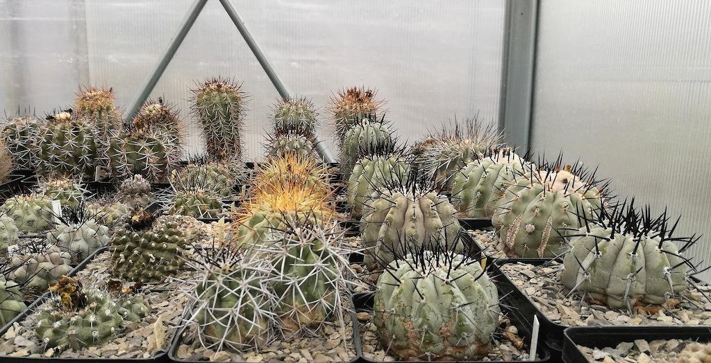 Alcuni esemplari di Copiapoa