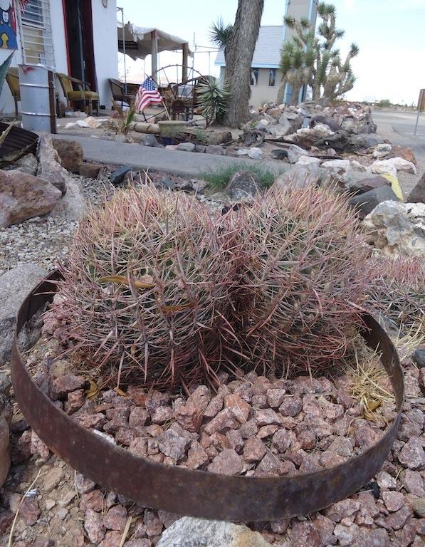 Due Ferocactus in coltivazione wild in Arizona