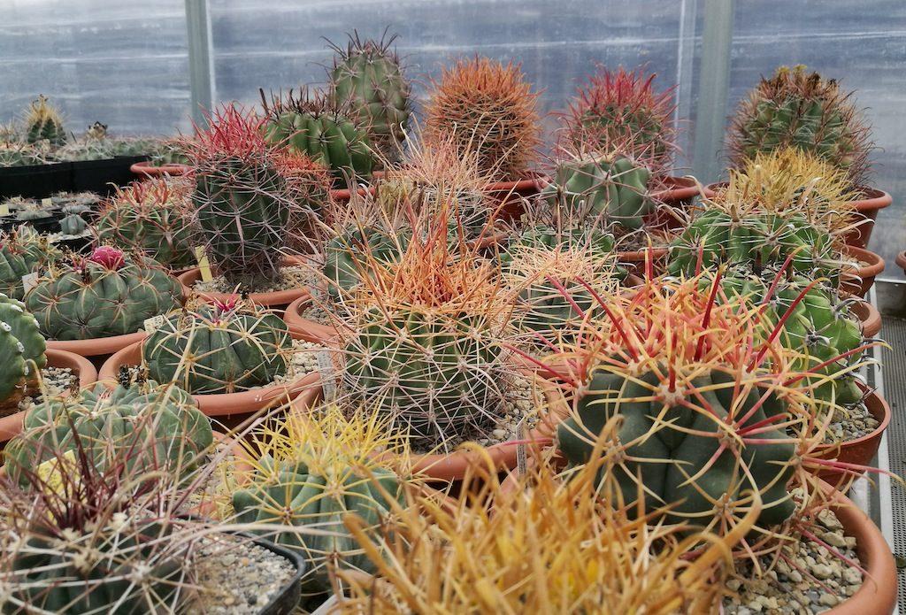 Vari esemplari di Ferocactus