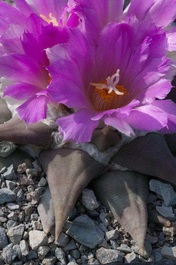 Ariocarpus confusus su marna pura