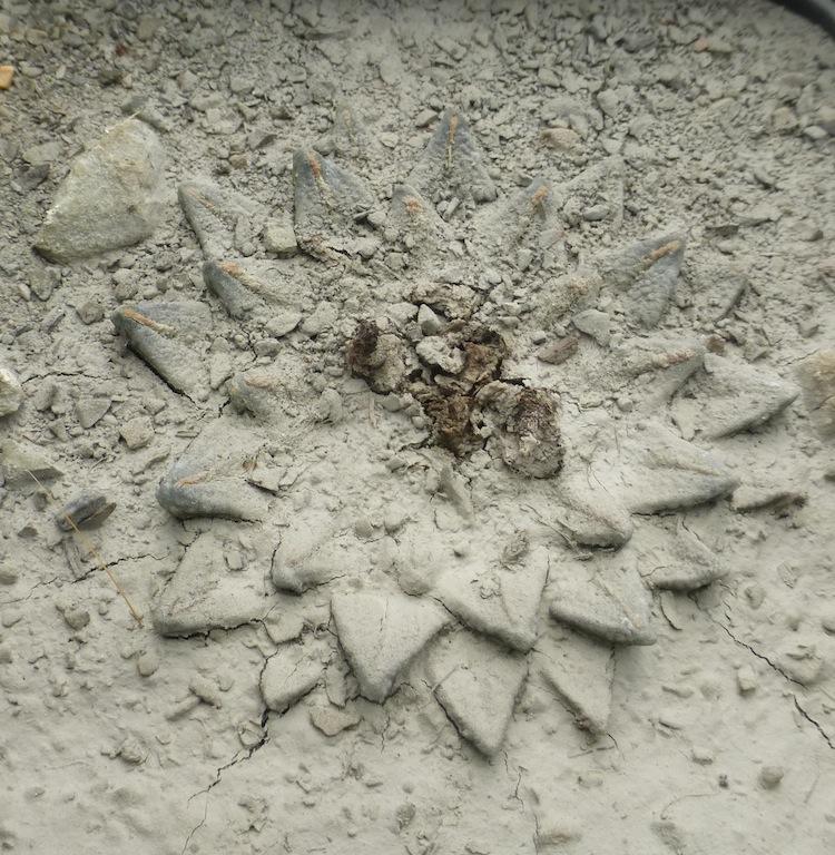 Ariocarpus kotschoubeyanus coperto dalla marna