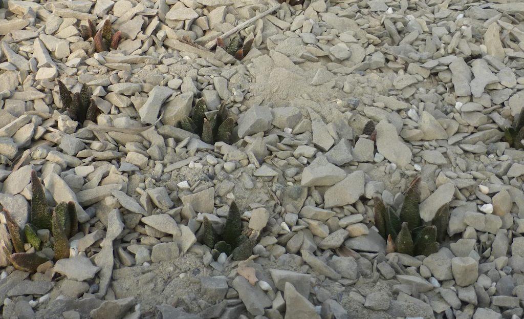 Ariocarpus scapharostrus mie semine