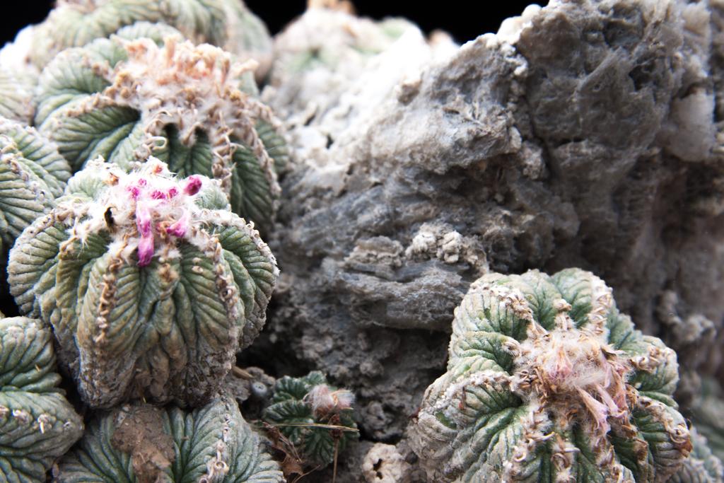 Aztekium ritteri su roccia