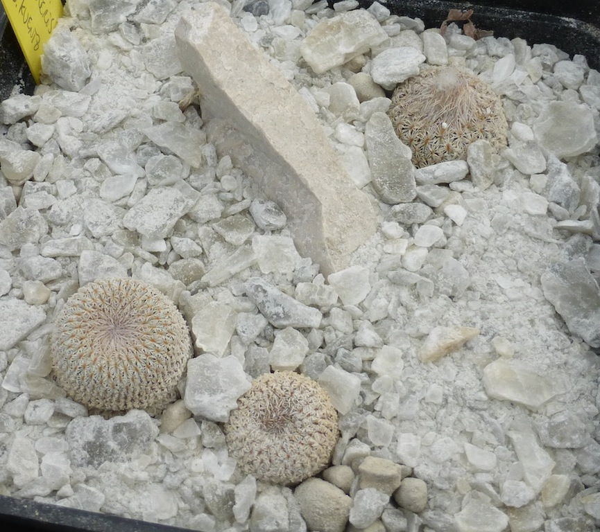 Epithelantha micromeris in gesso