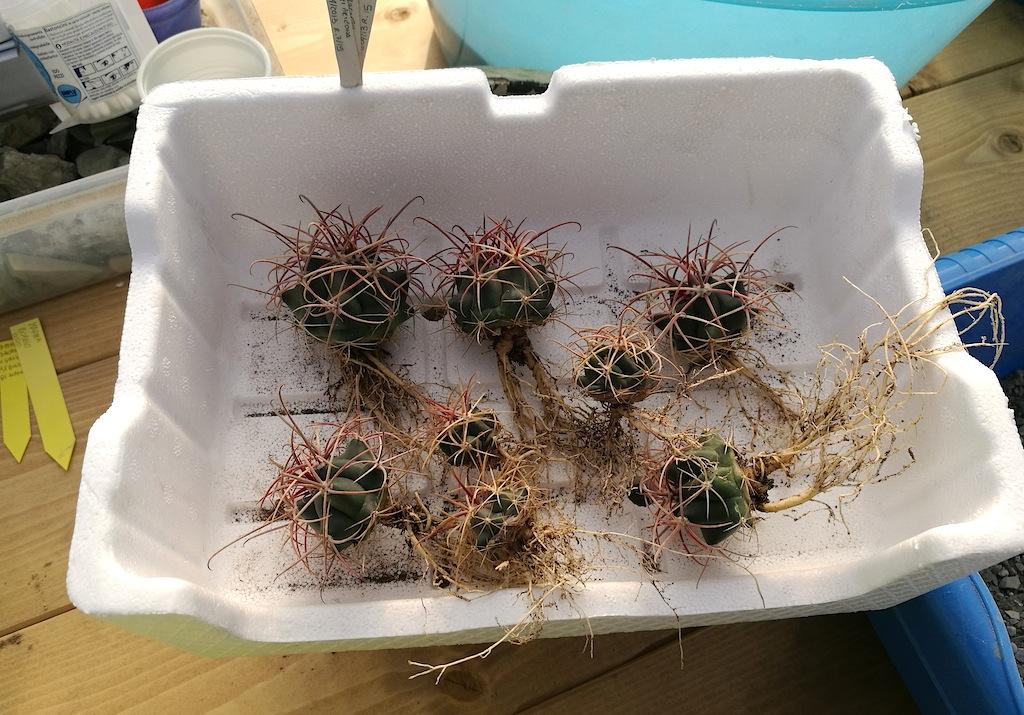 Semine di Ferocactus in attesa del rinvaso