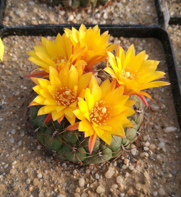 Matucana aureiflora in fioritura