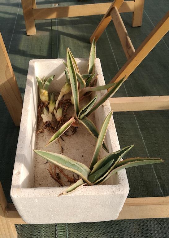 Polloni di agave svasati