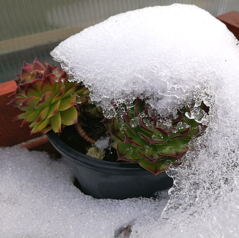 Sempervivum sotto la neve