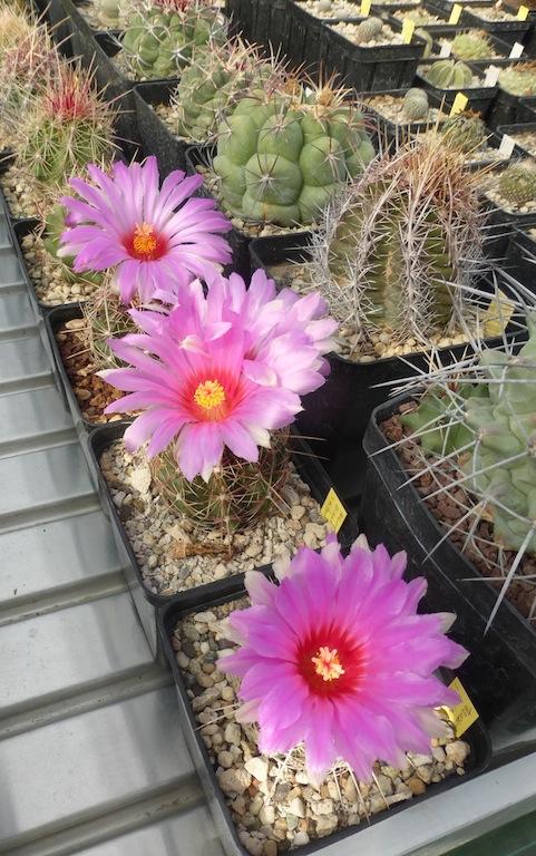 Alcune mie semine di Thelocactus bicolor in fiore