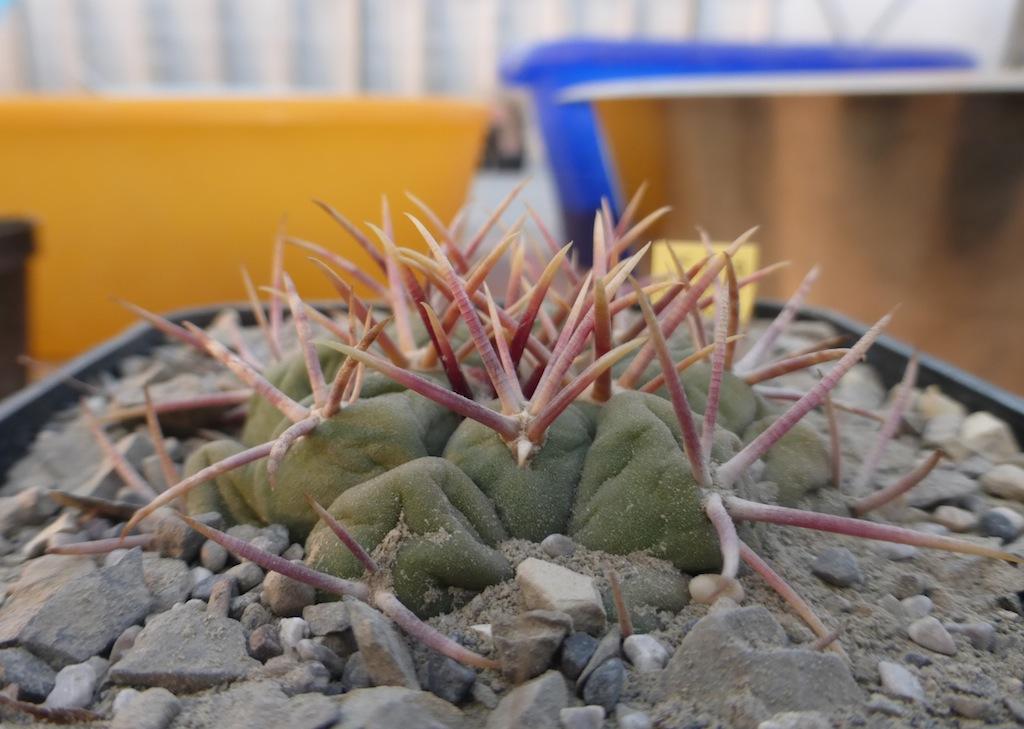 Thelocactus hexaedrophorus ssp. lloydii