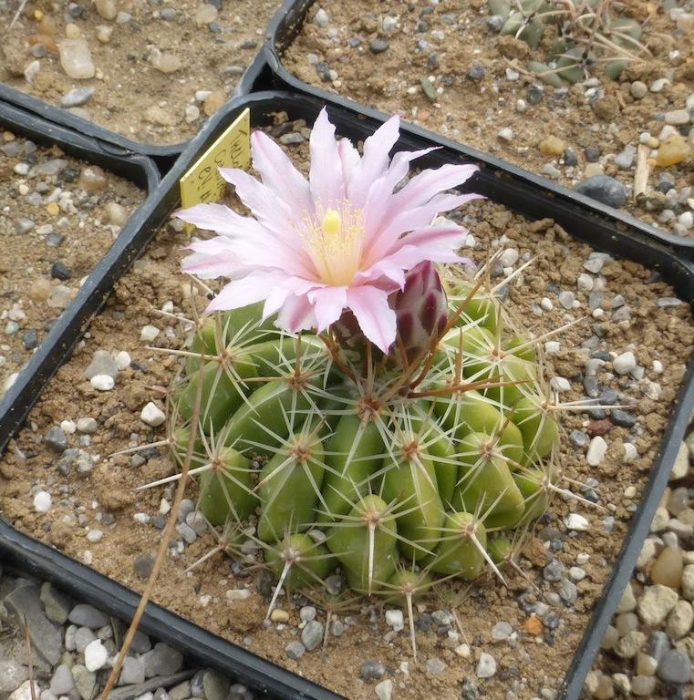 Una mia semina di Thelocactus sp.