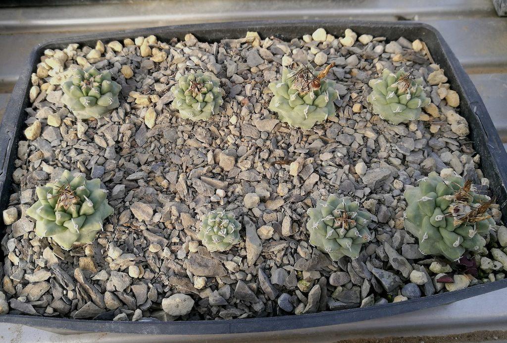 Semine di Turbinicarpus alonsoi di 4 anni in marna