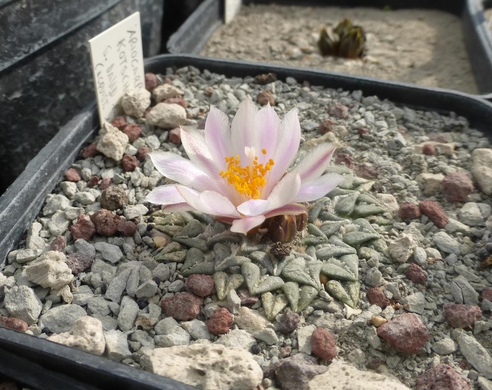 Ariocarpus kotschoubeyanus a fiore bianco