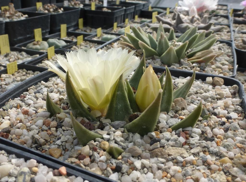 Ariocarpus trigonus in fiore