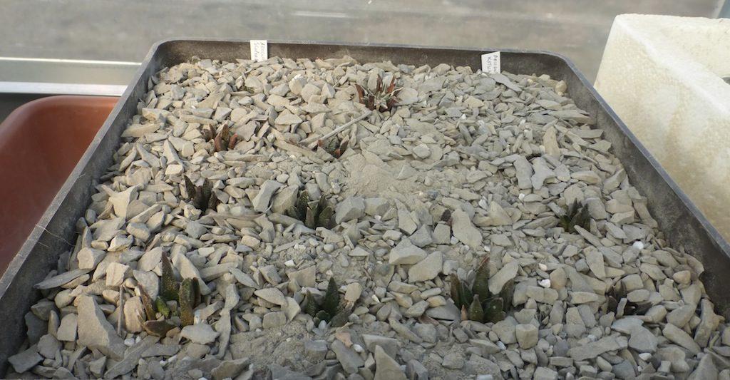 Ariocarpus vari di mia semina