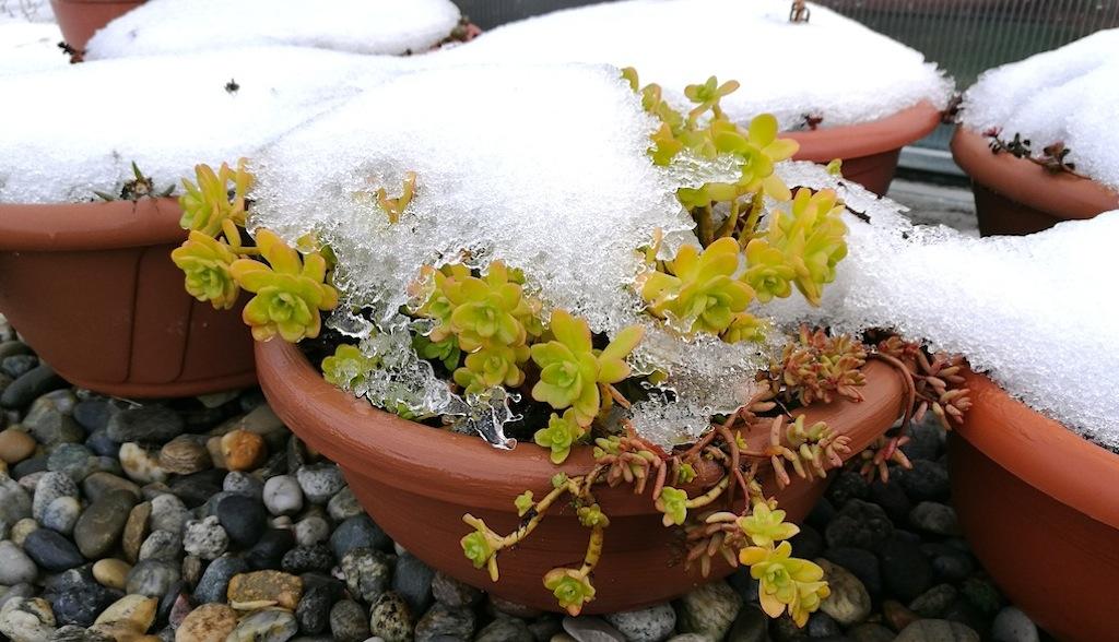 Al gelo, sotto pioggia e neve o riparate? Succulente in inverno, ecco cosa sapere