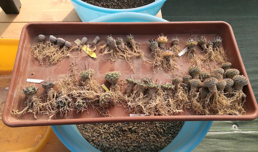 Il rinvaso di cacti e succulente: in quale periodo farlo, come procedere e quali accorgimenti usare