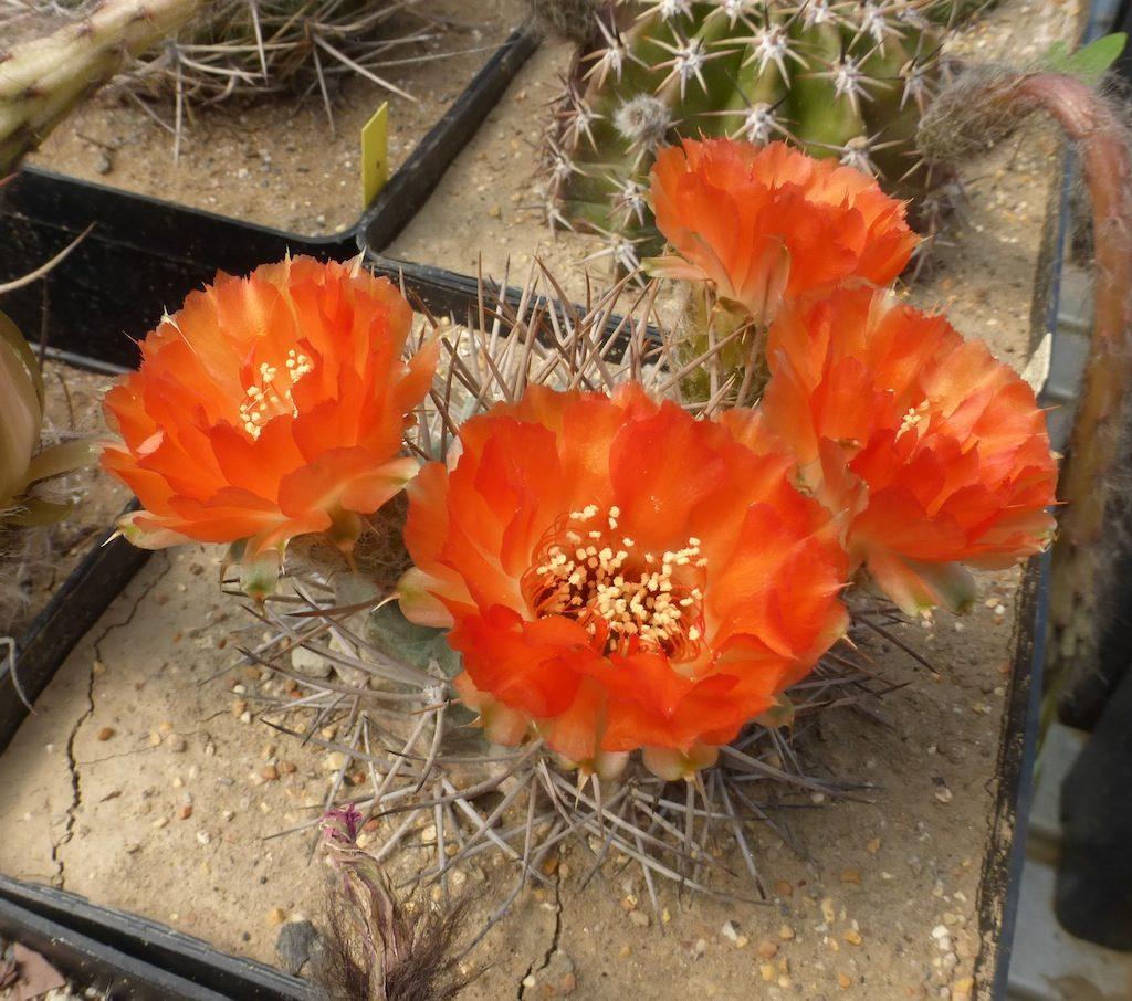 Acanthocalycium glaucum arancio