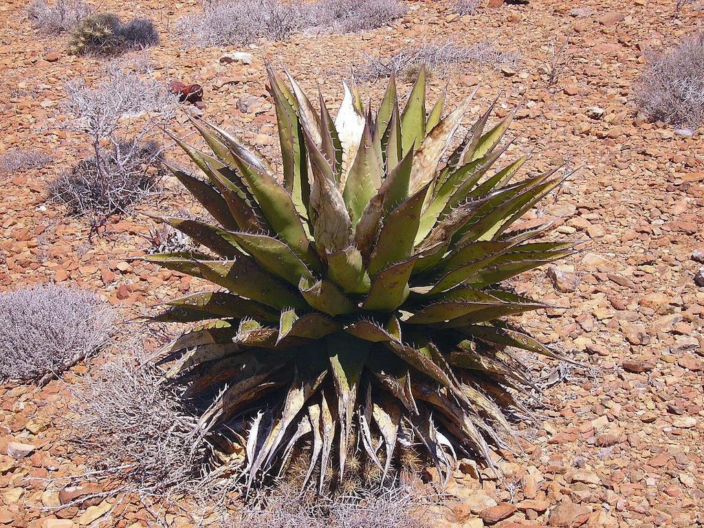 Un'Agave in Arizona
