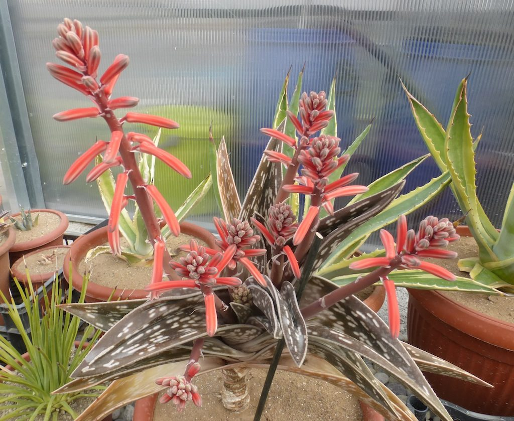 Aloe variegata in fiore