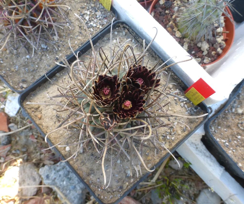 Ancistrocactus uncinatus, una mia semina al sole diretto