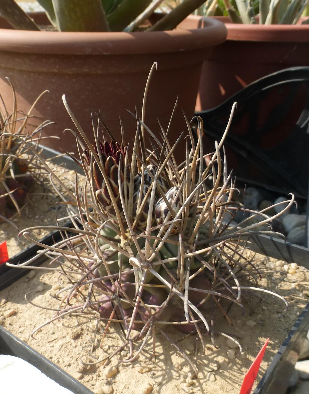 Ancistrocactus uncinatus, una mia semina al sole