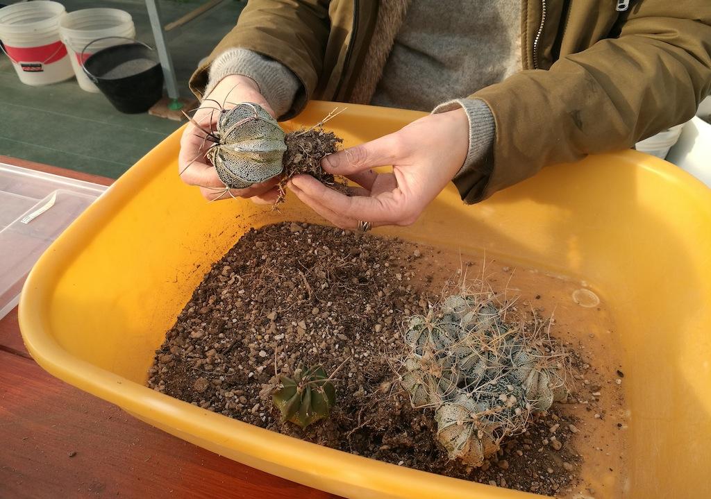 Rinvasi di semine di Astrophytum capricorne