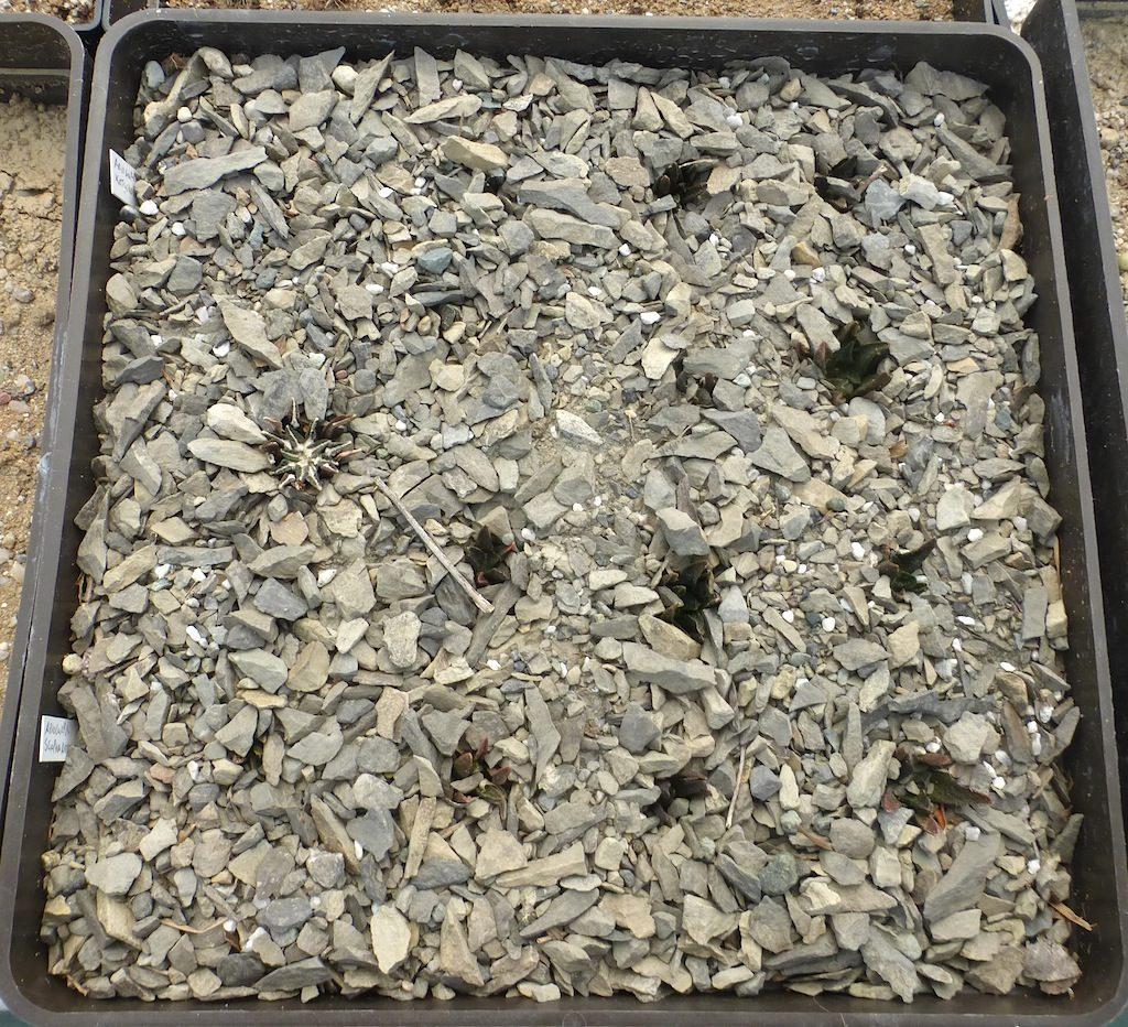Cassetta quadrata con semine di Ariocarpus