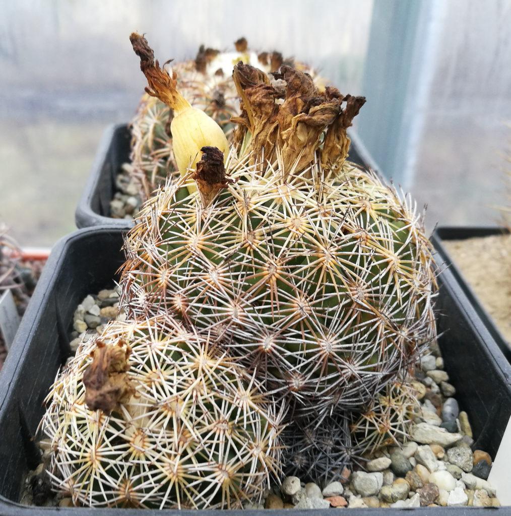 Coryphantha retusa con un frutto e fiori secchi