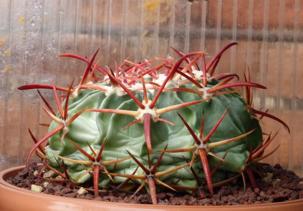 Echinocactus texensis, le spine bagnate diventano di colore rosso intenso