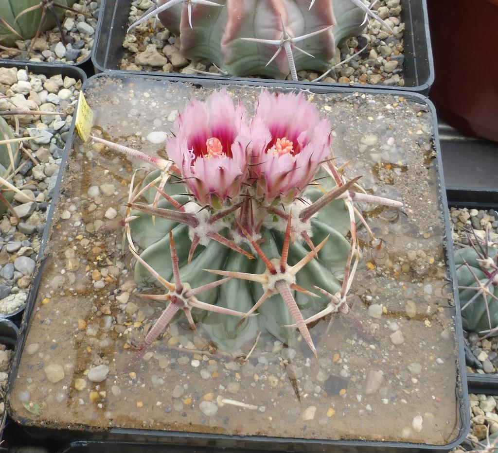 Echinocactus texensis durante l'annaffiatura