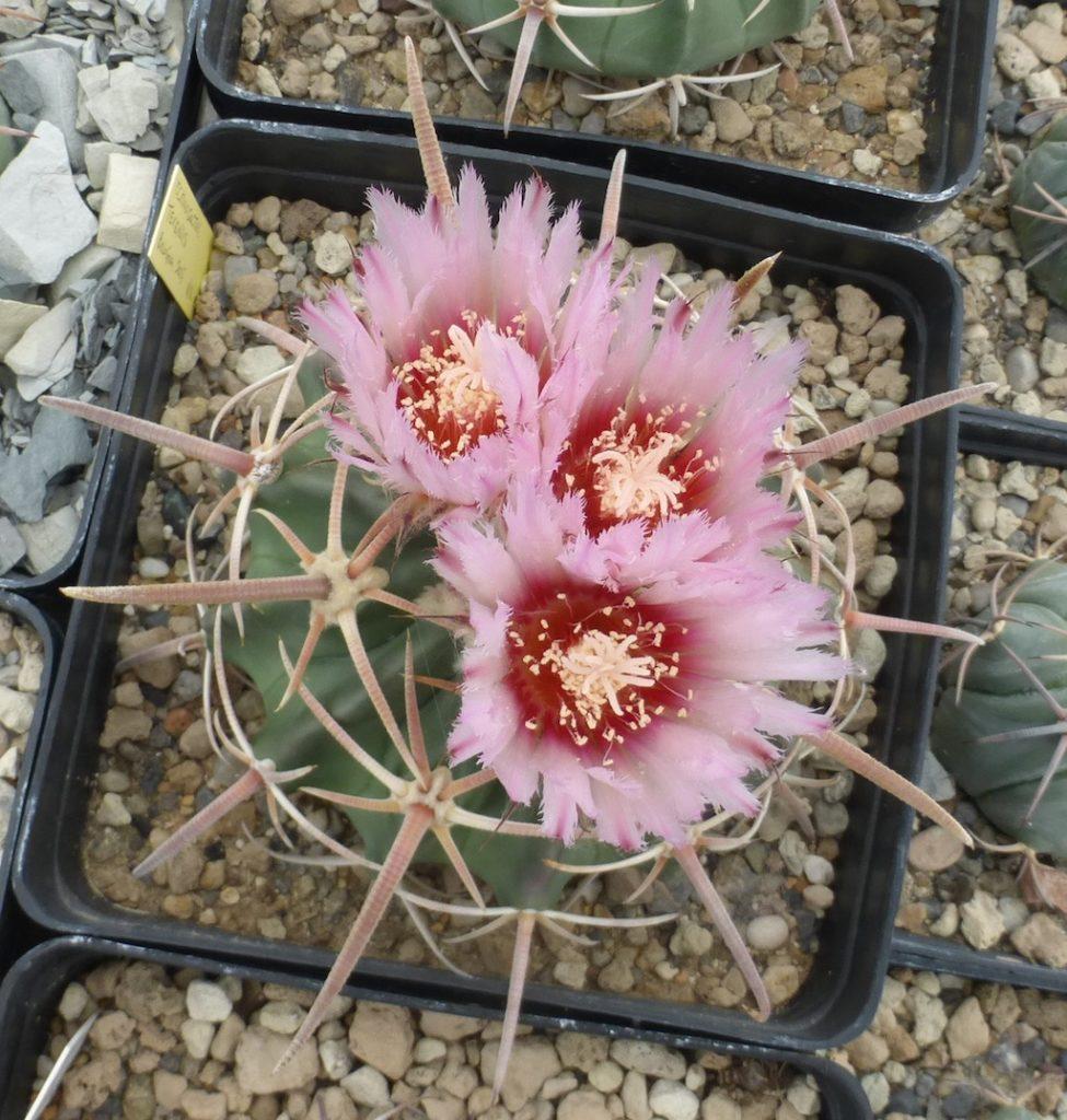 Echinocactus texensis in fiore