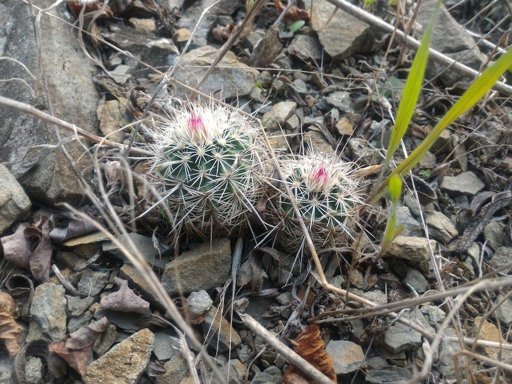 Echinocereus chloranthus in piena terra