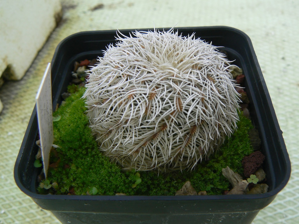 Echinocereus reichenbachii all'aperto scoperto da alcuni anni