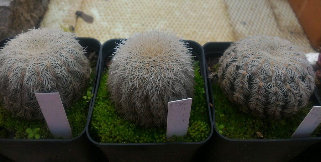 Echinocereus reichenbachii che vivono all'aperto scoperti da alcuni anni