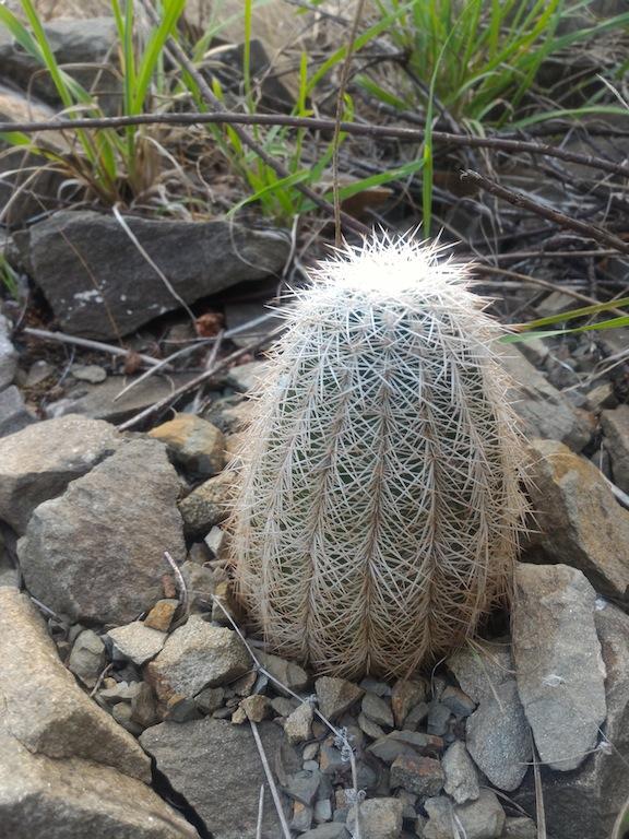 Echinocereus reichenbachii in piena terra
