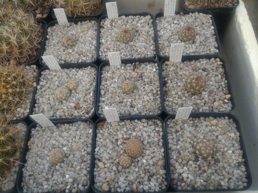 Echinomastus da seme rinvasati in vasi 7x7x10