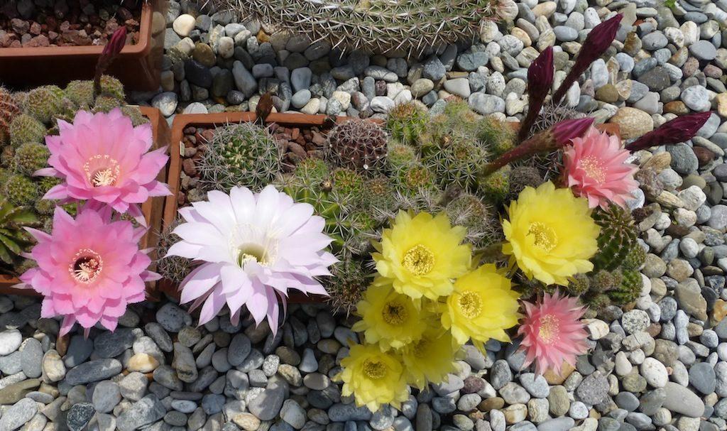 Echinopsis vari in fiore