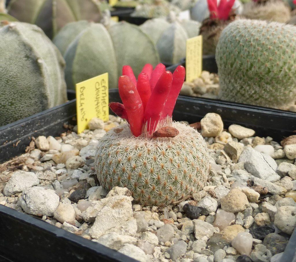 Epithelantha micromeris con frutti