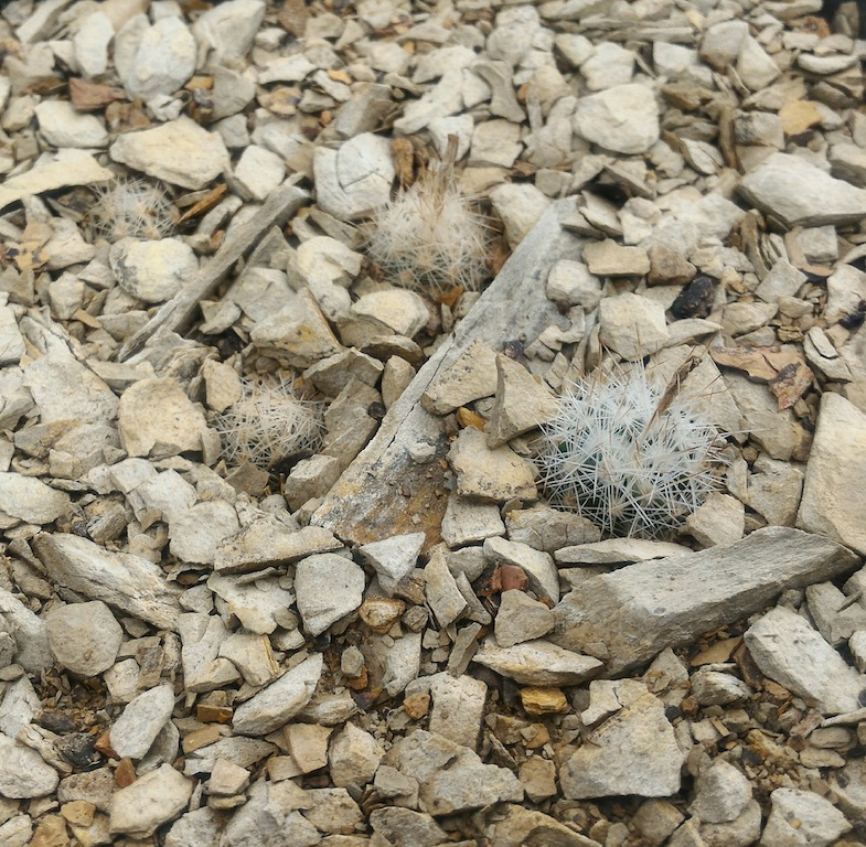 Escobaria duncanii, terriccio con alberese. Piante di circa 2 cm le più grandi
