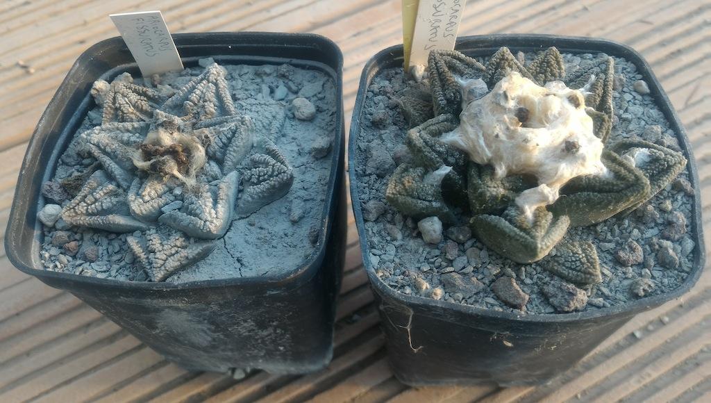 Ariocarpus foto 24